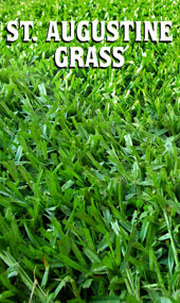 st. augustine grass up close